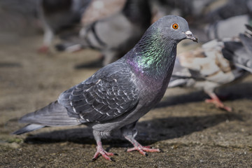 Pigeon in the park eating bread crumbs