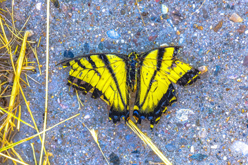 Canvas Prints Butterflies in Grunge Yellow and white butterfly dead on sidewalk