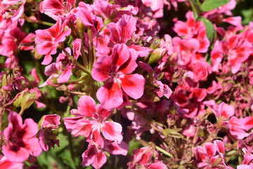 Bold Pink Flowers