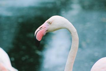 Pink flamingo, closeup, color toned