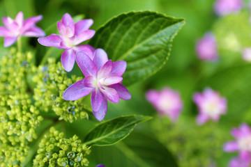赤紫色の額紫陽花