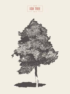 High detail vintage illustration ash tree vector