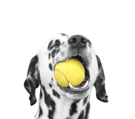Cute dalmatian dog holding a ball in the mouth. Isolated on white