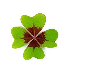 Isoliertes Blatt vom Glücksklee, Oxalis tetraphylla