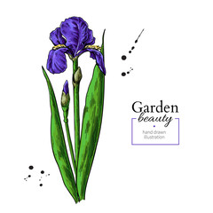Iris flower and leaves drawing. Vector hand drawn floral object. Garden bloom.