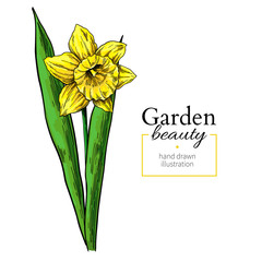 Daffodil flower and leaves drawing. Vector hand drawn floral object. Botanical