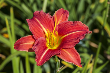 Hemerocallis 'Morocco Red' a spring flowering plant commonly knowm as daylily