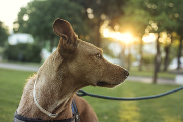 Retrato de primer plano de perro de color marrón y mirada expresiva al atardecer en un parque