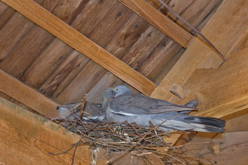 Pigeon in the nest under the roof feeds the chick
