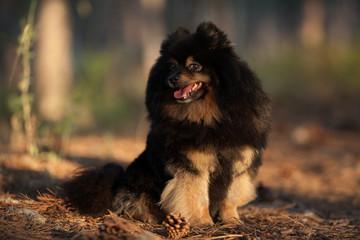 dog breed Pomeranian beautiful portrait on a walk in the Park