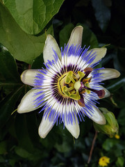 Passiflora flower in green white blue colors in a garden in Nieuwerkerk aan den IJssel.