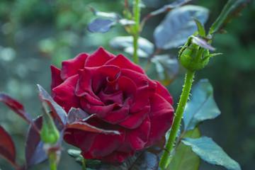 Red rose macro shot.