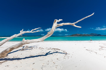 Fototapeta White driftwood tree on Whitehaven Beach with white sand in the Whitsunday Islands, Queensland, Australia obraz