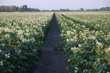 white flowers on the potato plants on a field in Zevenhuizen, the Netherlands