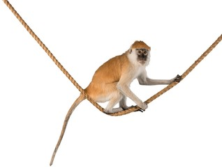 Monkey Sitting On Rope - Isolated