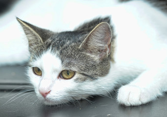 beautiful short-haired white with gray cat