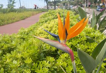 Bird of Paradise Flower, Strelitzia reginae,  Funchal, Botanical Garden, Madeira,Portugal