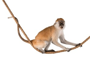 Foto op Textielframe Aap Cute Monkey animal isolated on white background