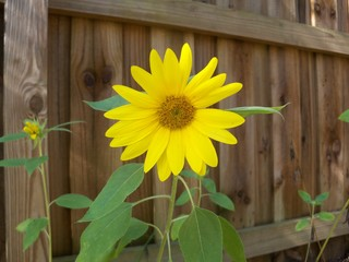 Lone yelow sunflower against a brown fence