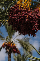 Dates on a date palm, vertical
