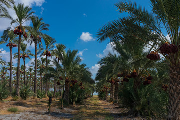 In the date palm tree grove horizontal