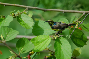 Olive-backed Sunbird on branch in nature