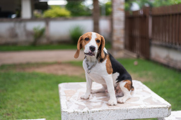 portrait of puppy beagle on the table