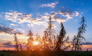 Cannabis in the golden summer light, background of marijuana