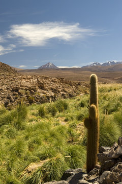 Cactus in the Atacama desert