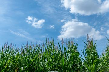 Champ de maïs en contre-plongée sur fond de ciel bleu