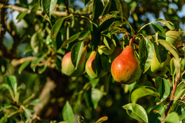 Branche d'un arbre poirier avec son fruit, une délicieuse poire rouge