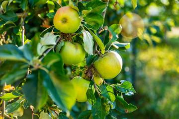 Branche d'un pommier dans un verger avec ses pommes bien juteuses sous le soleil en Alsace le soleil
