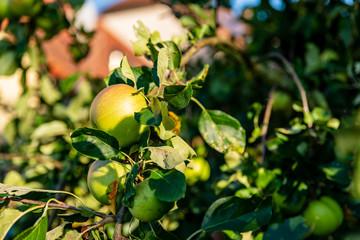 Branche d'un pommier dans un verger avec ses pommes pour faire du jus de pommes