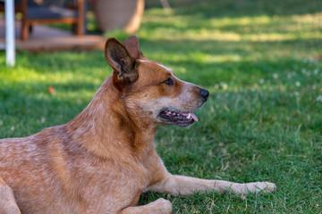 Profil de la tête d'un chien Bouvier australien (en anglais Australian cattle dog) à la robe truité de rouge tranquille sur le gazon