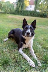 Plan rapproché d'un chien de berger ou de troupeau, le border Collie à la robe noire et blanche à l'affût avec les oreilles dressées