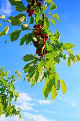 Makro aufnahme auf red cherries and sky.