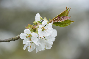 Close-up of Sour Cherry (Prunus cerasus) Blossoms in Spring, Upper Palatinate, Bavaria, Germany