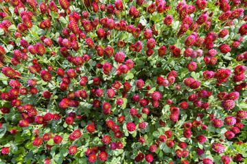 Crimson clover (Trifolium incarnatum) growing in a field in Burgenland, Austria
