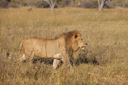 African lion (Panthera leo) walking through tall grass at the Okavango Delta in Botswana, Africa