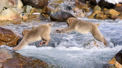 Snow Monkey Jumping Sequence