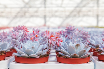 Blooming echeveria cacti plants in a greenhouse