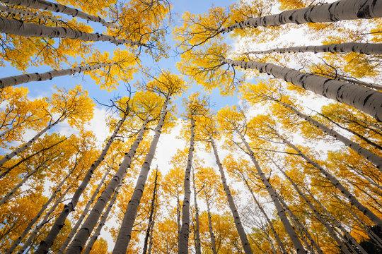 Aspen tree canopy, awesome autumn scene.