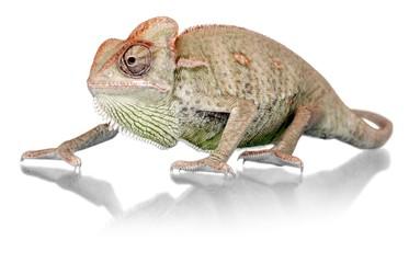 Chameleon Walking Slowly
