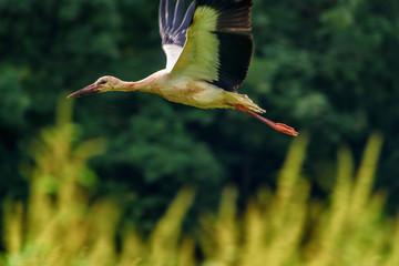 Stork flying against the forest
