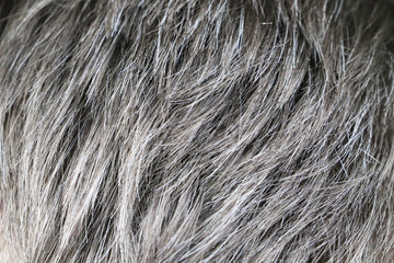 Going gray. Man gray and black hair roots. Close-up