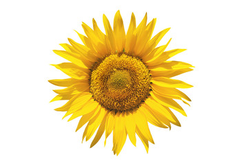 Sunflower on white isolated background