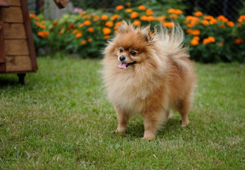 Pomeranian on the lawn near the house