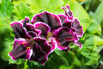 beautiful blooming velvet purple geranium flower with green leaves. Royal Pelargonium Elegance Imperial