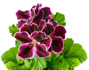velvet purple geranium flower with green leaves is isolated on white background. Royal Pelargonium Elegance Imperial