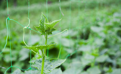 cucumber plant growing on the rope